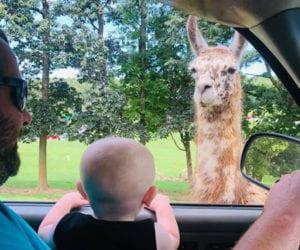 Toddler in a car watching llama